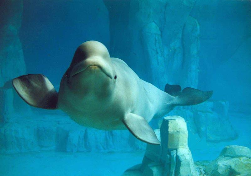 beluga-rep-dominicana