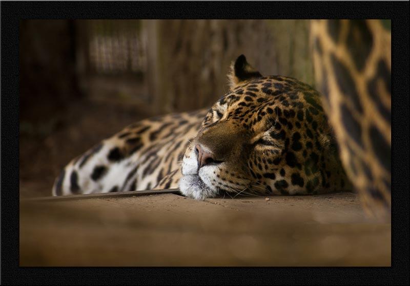 giaguaro-venezuela