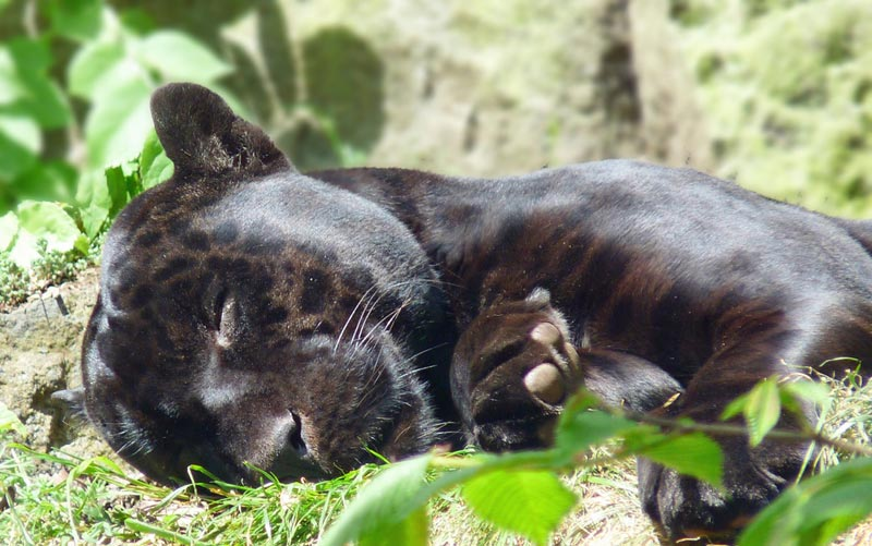 pantera-malesia