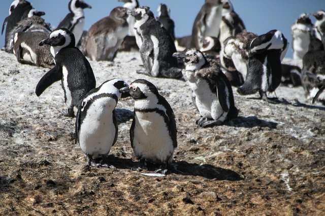 pinguini-8