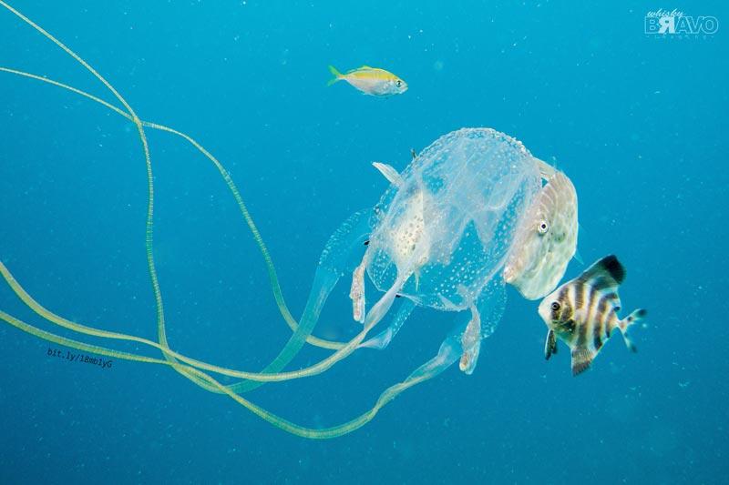 Nord-Australia-meduse
