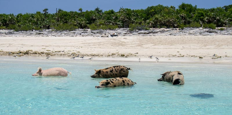 pig-beach-bahamas-(3)