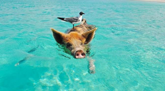pig-beach-bahamas-(5)