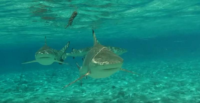 Nuotare con gli squali si pu a bora bora weplaya - Bagno con gli squali sudafrica ...