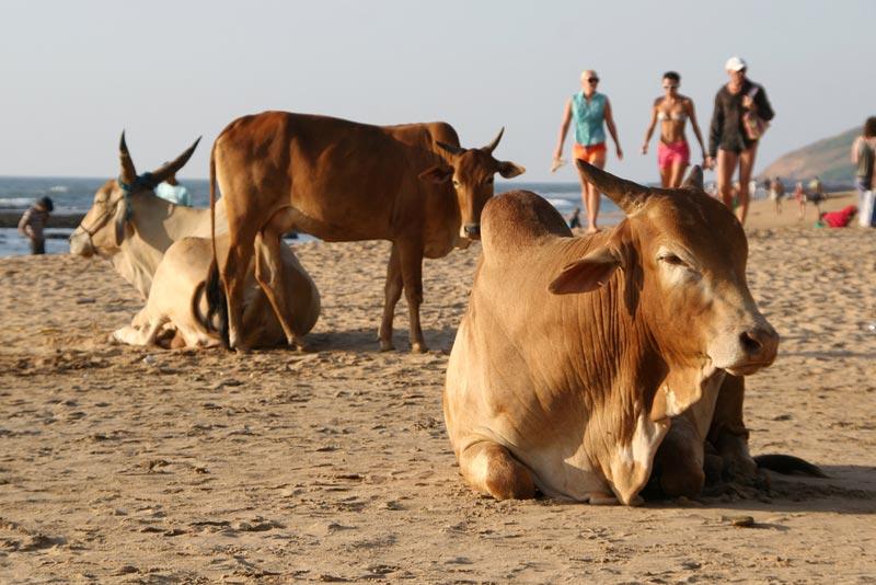 Cow-Beach-india-(1)