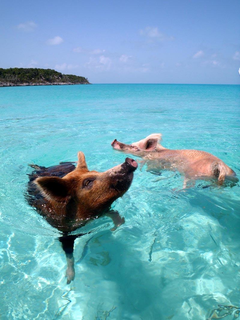 pig-beach-bahamas-(2)