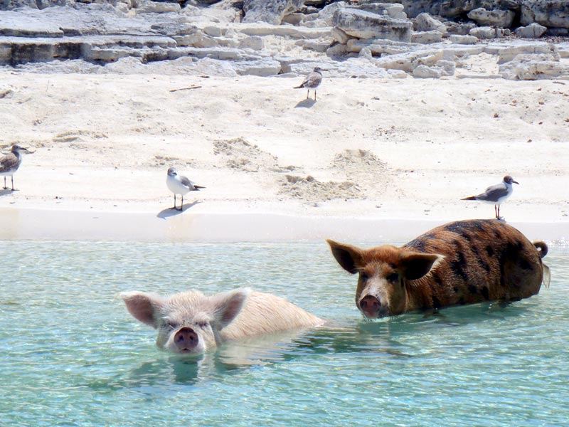 pig-beach-bahamas-(4)